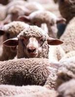 Kako brzo ovci raste vuna?
