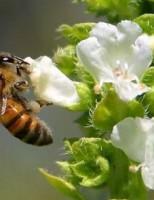 Kako pčele proizvode med?