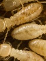 Kako žive termiti?