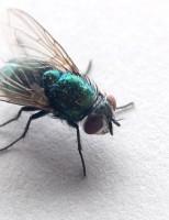 Kako se izlegu muhe?
