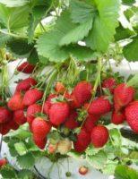 Kako uzgajati jagode?