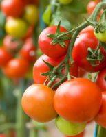 Kako uzgajati rajčice ?