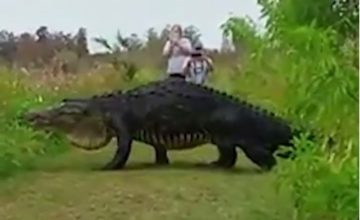 Divovski aligator šokirao turiste
