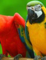 Kako papigu naučiti pričati ?
