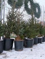 Kako se brinuti za Božićno drvce?