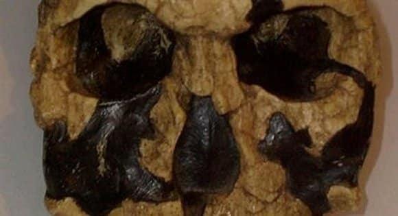 Homo-rudolfensis