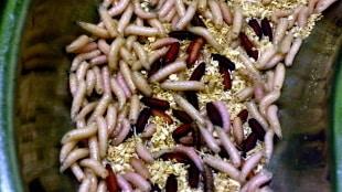 Crvi su ljekoviti zbog bjelančevina koje izlučuju i koje obuzdavaju čovjekovu imunološku reakciju.