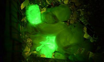 fluorescentni-zec