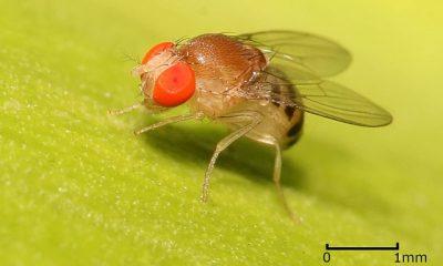 Voćna mušica (Credit: Wikimedia))