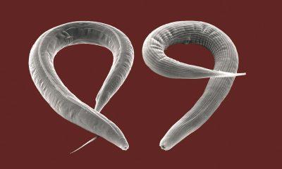 Fadenwuermer Caenorhabditis elegans und Pristionchus pacificus