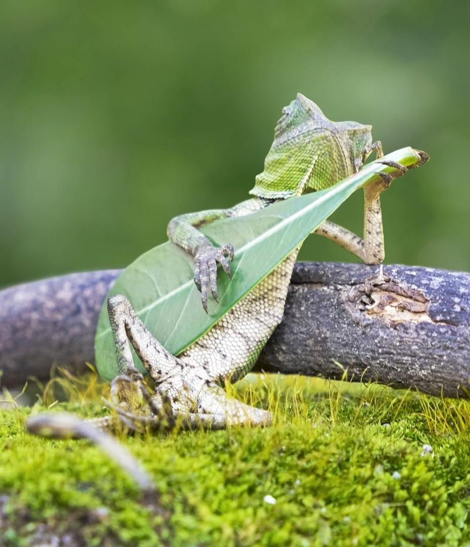 Gušter svira na listu