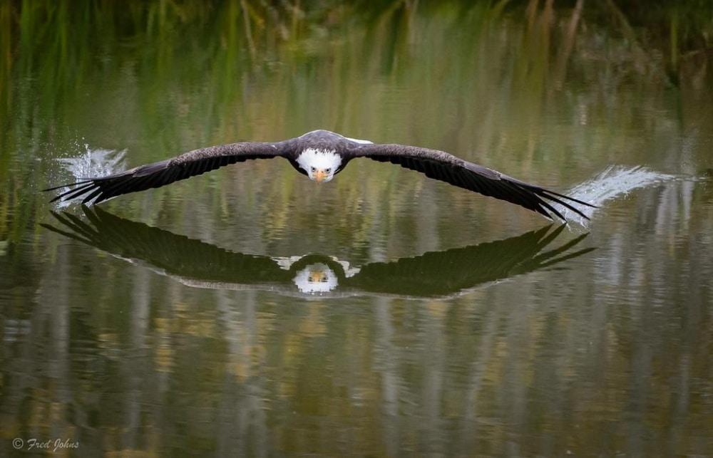 Orao u letu iznad jezera
