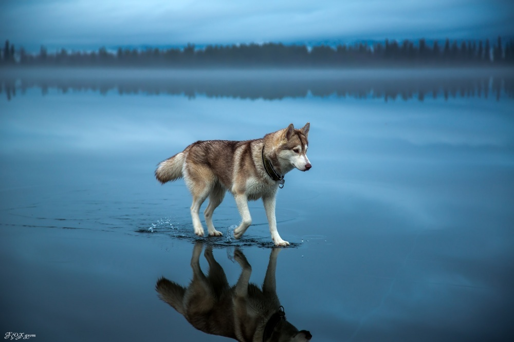 Vuk šeta površinom jezera