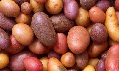 krumpiri Scott Bauer, USDA ARS