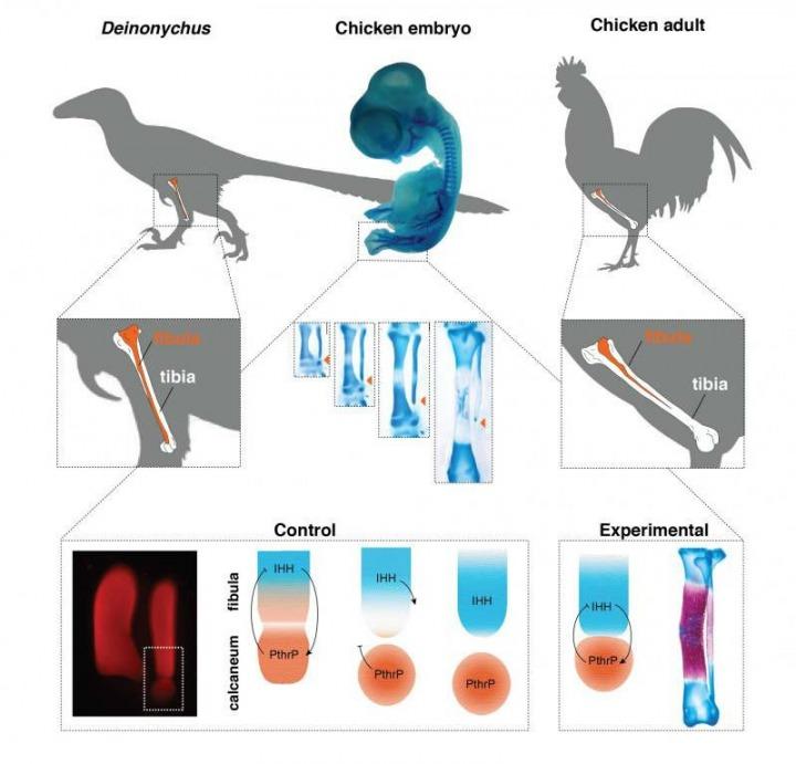 Usporedba kostiju noge pijetla i Deinonychusa. Kao što je vidljivo iz gornjeg prikaza, kod dinosaura su fibula i tibia skoro jednake dužine, dok kod koka to nije slučaj. na donjem dijelu slike prikazano je na koji način deaktivacija gena IHH utječe na gen PthrP, a što za posljedicu ima rast fibule kod pilića. FOTO: Joâo Botelho et. al./Evolution