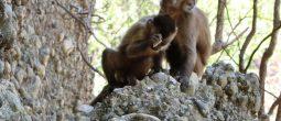 majmun-oruzje