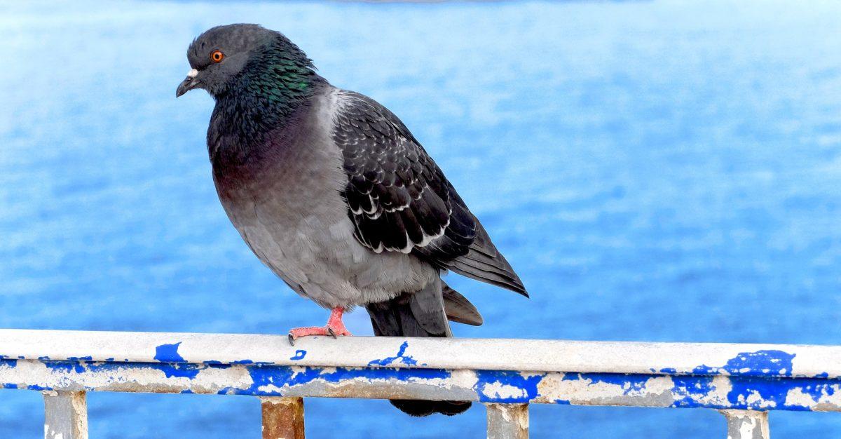 golubovi razumiju koncept vremena i prostora
